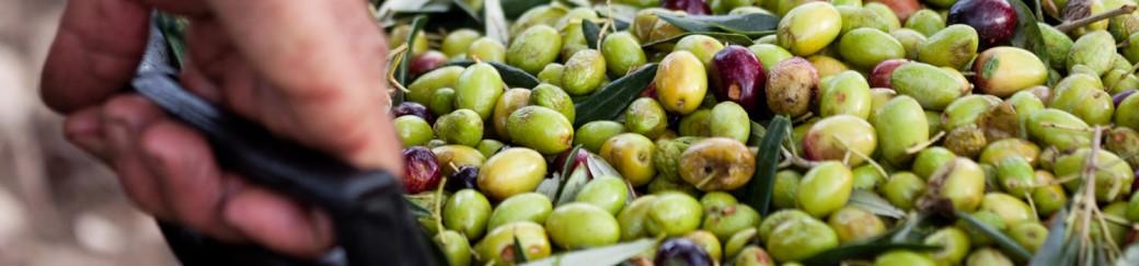 Recolectando la oliva