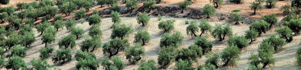 Olivares - Aceites de las Heras